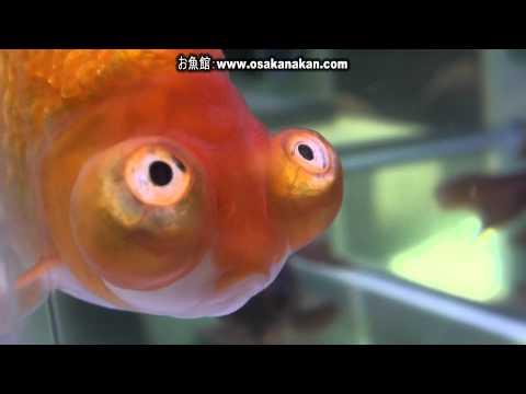 [頂天眼]第30回日本観賞魚フェア 親魚の部 優勝:常川 善次氏持魚