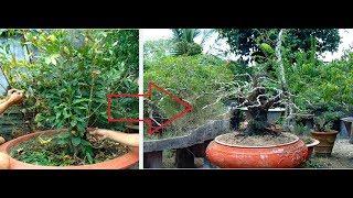 Quá Trình Uốn Cây Mai Bonsai đế Khủng ,  Ochna Tree Rapid Prototyping