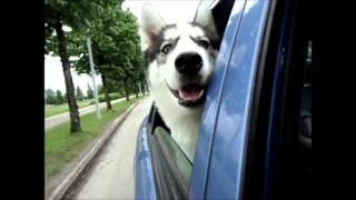 Jimmy husky loves driving
