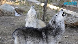 Why Do Wolves Howl?
