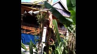 preview picture of video 'Buah pisang berbuah di tengah di Mamasa'