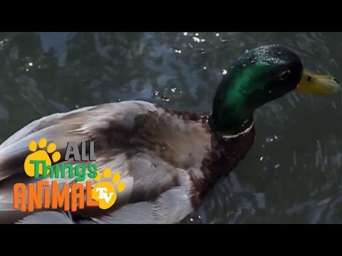 , title : '* DUCK * | Animals For Kids | All Things Animal TV