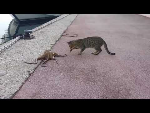 Cat vs octopus