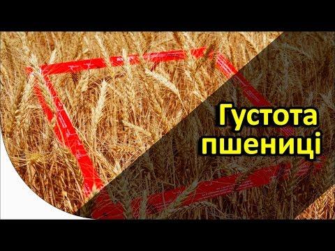 Густота пшеницы - как считать?