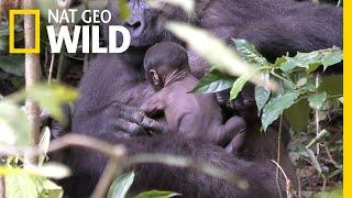 See Rare Video of Wild Gorilla Newborn Clinging to Its Mom | Nat Geo Wild