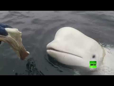 العرب اليوم - شاهد: صيادون نرويجيون يعثرون على حوت أبيض مثبت فوقه كاميرا تصوير