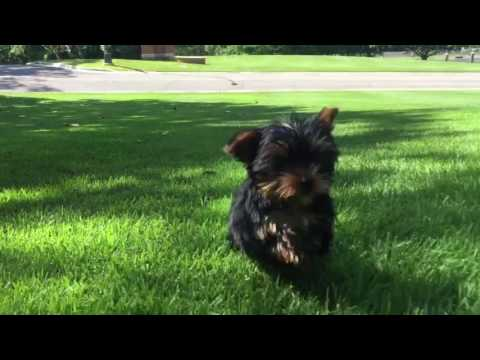Georgie is a super tiny Yorkie who likes to play and give loads of kisses
