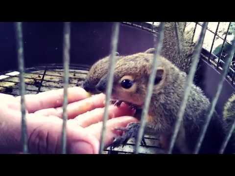 Video Cara dan trik menjinakkan tupai kelapa pakai metode 212