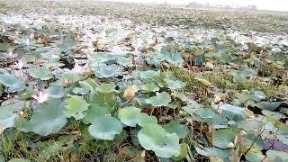preview picture of video 'পদ্ম বিল, হবিগঞ্জ'