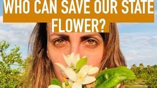 The Native Plant that can save Florida's State Flower from Citrus Greening