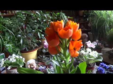 комнатные растения - птицемлечник