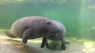 Meet the Manatees of Blue Spring