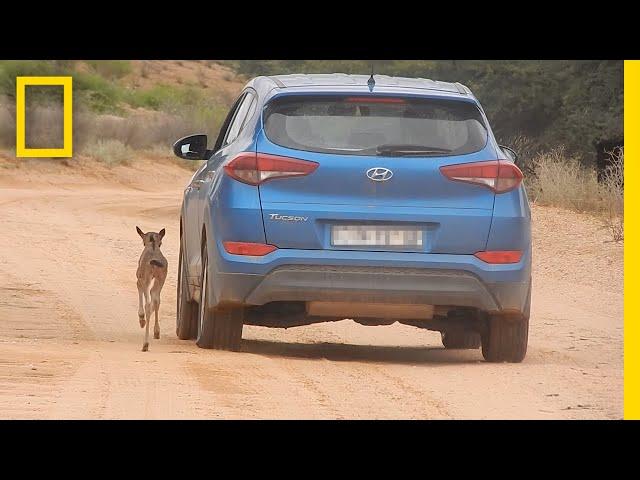 عجل صغير يطارد سيارة معتقداً أنها أمه