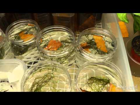 Tadpole Poison Dart Frogs