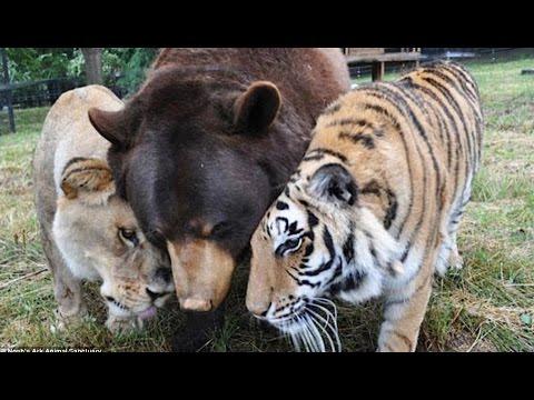 La formidable amitié entre un tigre, un ours et un lion !