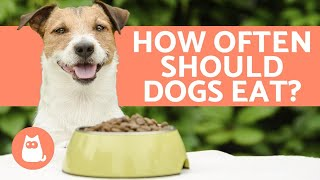 How Many Times a Day Should DOGS EAT? - Puppies and Adults
