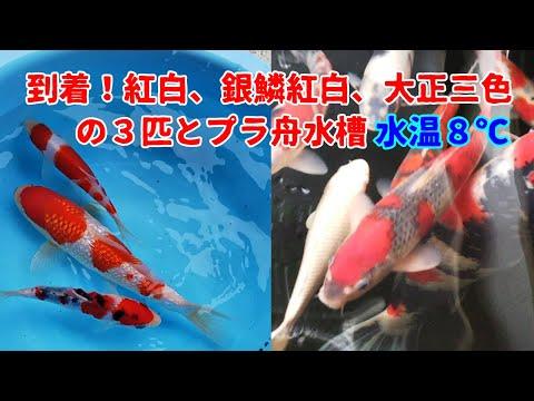 錦鯉飼育  2019.2.25  到着した銀鱗紅白、紅白、大正三色