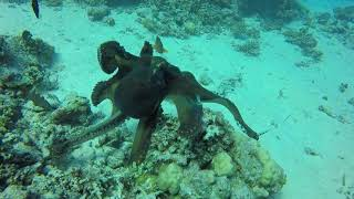 octopus versus tiger snake eel - Red Sea - Egypt - hurghada