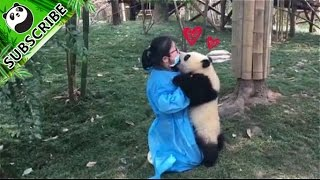【Panda Top3】This proves how clumsy a panda can be!