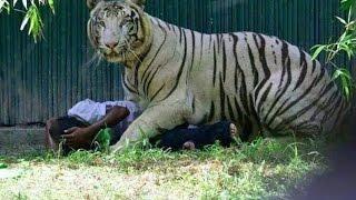 Tiger Saving The Man It Killed In Delhi Zoo?  A New Debate