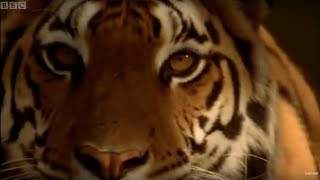 Tiger - Endangered Species