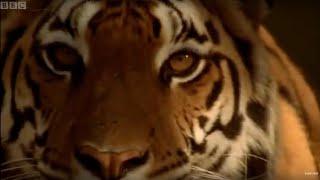 Tiger - Endangered Species