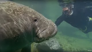 Manatee - In Freshwaters