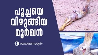 OMG ! The Cobra that swallowed a cat | Snake Master EP 244 | Kaumudy TV