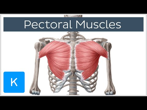 Pectoral Muscles - Area, Anatomy & Function - Human Anatomy | Kenhub