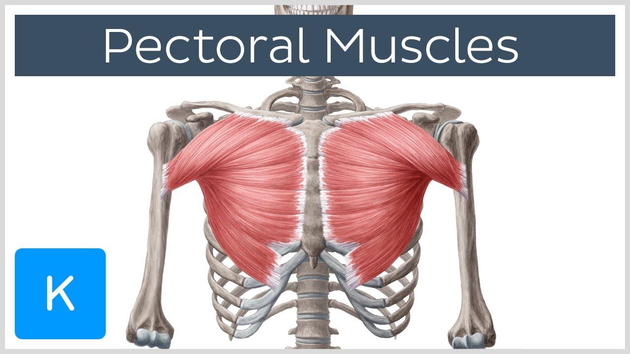 video pectoral muscles kenhub