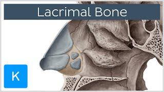 Lacrimal bone - Location & Structure - Human Anatomy |Kenhub
