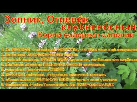 Зопник клубненосный Огневик Лекарственные растения полей и лесов  Что за растение Лес тайга