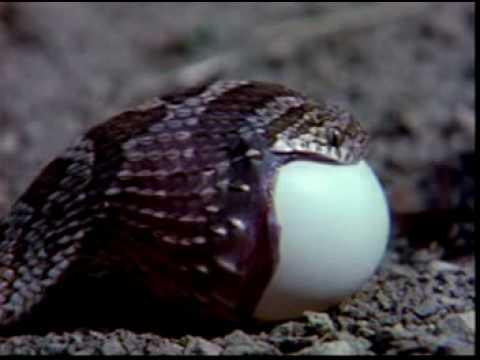ثعبان يبتلع بيضة ضخمة
