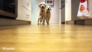 Golden retriever pups running for dinner, timelapse style