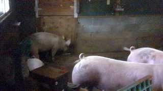Raising pigs from piglets to bacons, part 1 Raising the hogs