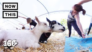 Goat Yoga in 360 is the Cutest Thing Ever | Unframed by Gear 360 | NowThis