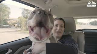 Senior Pittie Is So Happy To Finally Have A Family - ZOLTAN | The Dodo Adoption Day