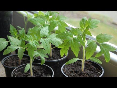 28. Проверенный временем способ выращивания рассады помидор и перца.