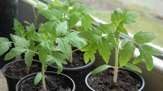 Способ выращивания рассады помидоров и перца видео
