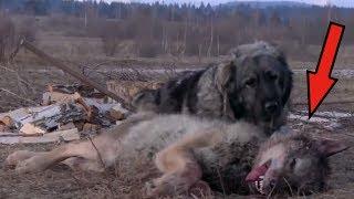 10 Ras Psów, Które Mogą Zabić Wilka