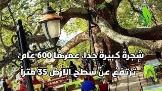 قصص وميزات لأشهر الشجر في ...