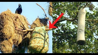 Loài chim thông minh làm tổ bên cạnh tổ ong độc để được bảo vệ P2