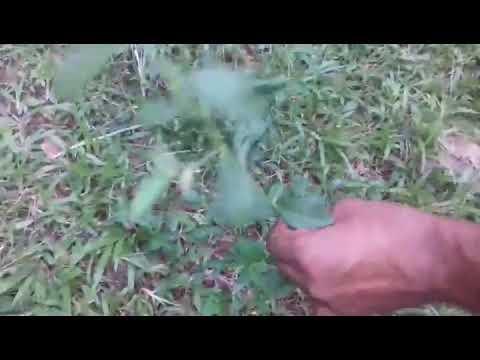 sida cordifolia svorio netekimas kaip dega riebalai nuo tavo organizmo