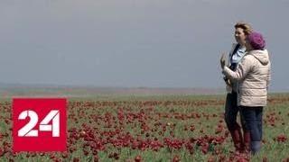 Донская степь превратилась в тюльпановое море - Россия 24