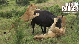 Lion Pride Catches A Buffalo, But When The Herd Returns - SO EMOTIONAL!!!