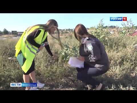 Управлением Россельхознадзора в Волгограде проводится работа по контролю за распространением карантинных растений по обращениям граждан