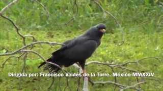 preview picture of video 'Milano Caracolero (Rostrhamus sociabilis) Snail Kite, by trucha 1.618'