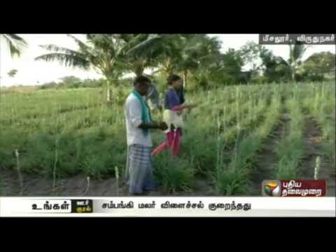 Tuberose-yield-affected-in-Viruthunagar