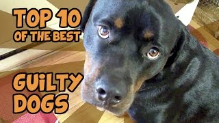 THE TOP 10 GUILTIEST GUILTY DOGS OF ALL TIME