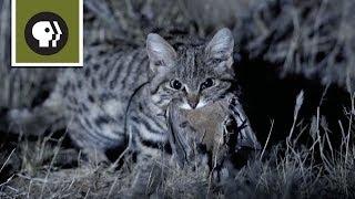 Смотреть онлайн Вот, как дикая кошка ловит себе добычу